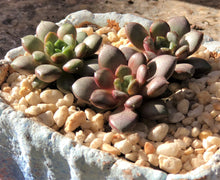 australia graptoveria amethorum