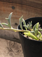 Senecio dolpin necklace (string of dolphins) 海豚项链/小海豚  Melbourne Australia rntsucculents