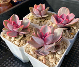 Echeveria west rainbow