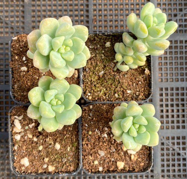 Sedum treleasei 'angel's tear'