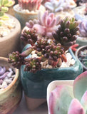 Sedum red berry