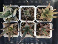 Aloe mystery box (random mix of 6)