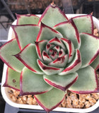Echeveria ebony (seed grown 3 yrs)