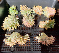 Sedeveria starburst cristata cutting