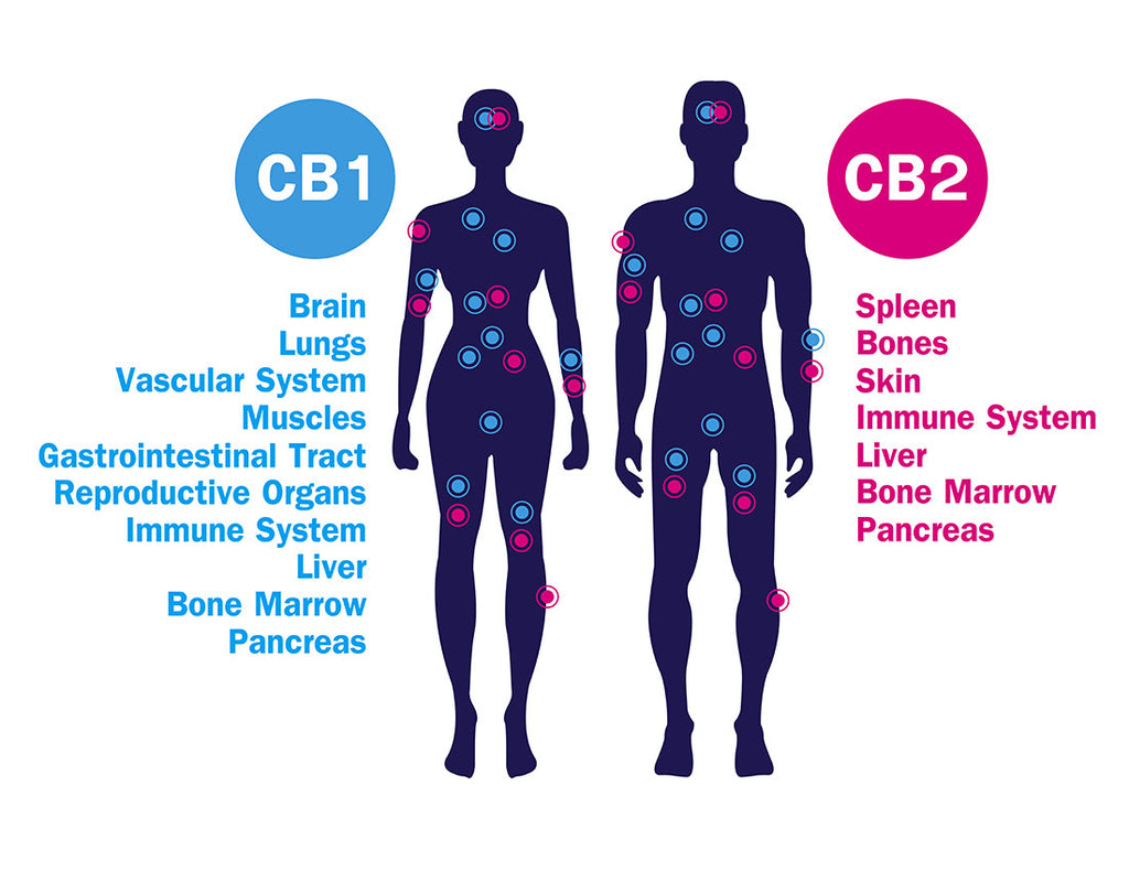 What is the Endocannabiniod System (ECS) and the effect of CBD oil?