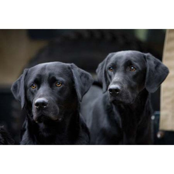 Black Labradors Greeting Card