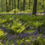 Bluebell and Ferns