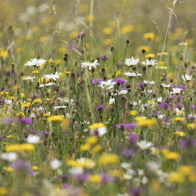 Grassy Meadows Seed Mix