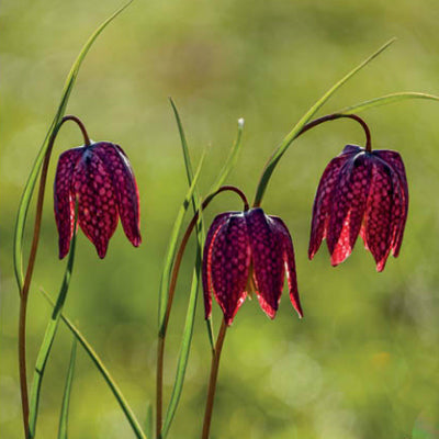 Fritillary Meadow