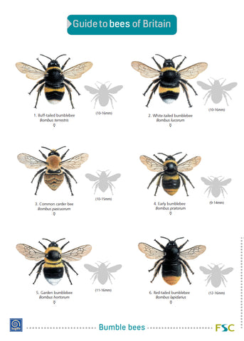 Bees of Britain