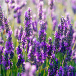 Lavender Seeds (Munstead)
