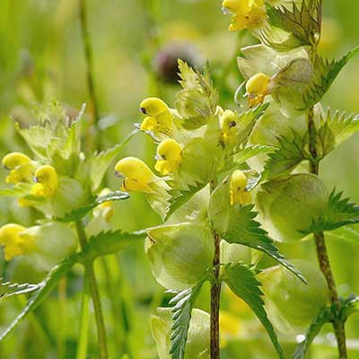 Yellow Rattle Seeds
