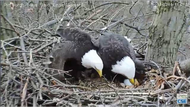 Hays bald eagles lay 2nd egg in Pittsburgh nest