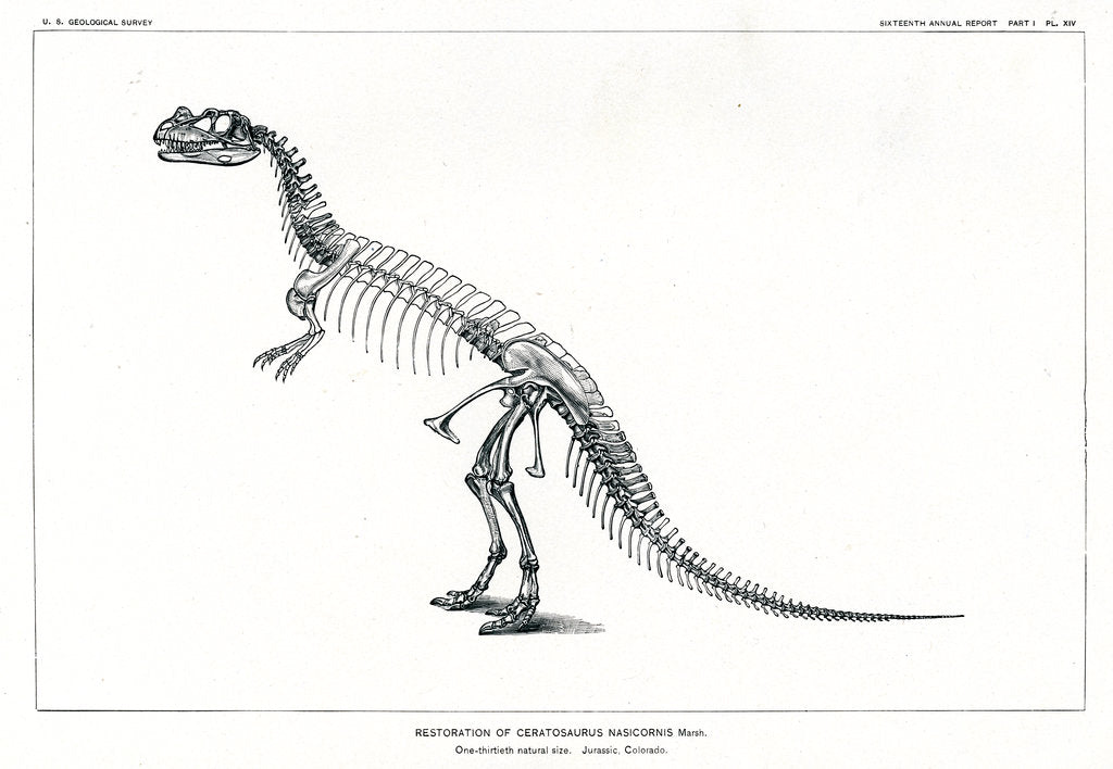 Detail of 'Ceratosaurus nasicornis' by unknown