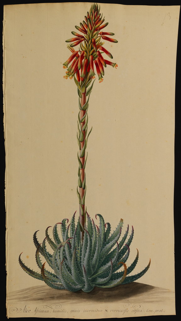 Detail of Aloe africana by Jacob Georg Dionysius van Huysum