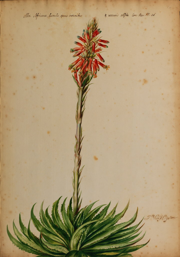 Detail of Aloe africana by Jacob van Huysum