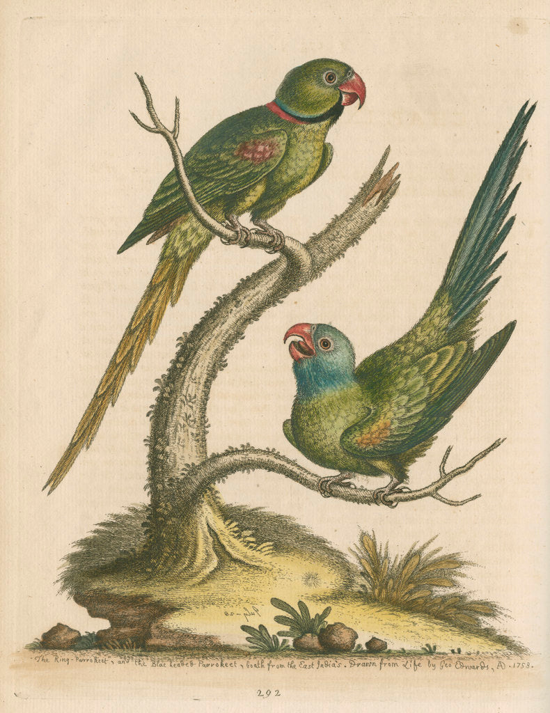 'The Ring Parrakeet, and the Blue-headed Parrakeet' by George Edwards