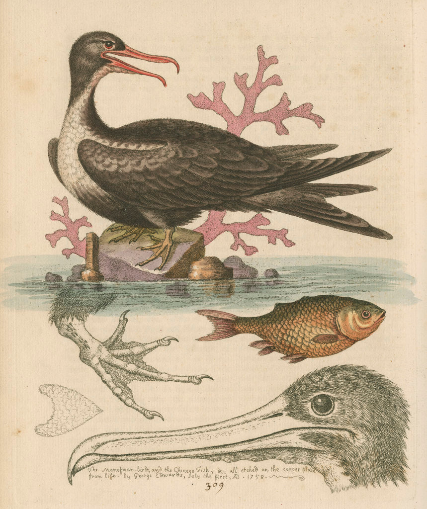 Detail of 'The Man of War Bird, the Chinese Fish, &c.' by George Edwards