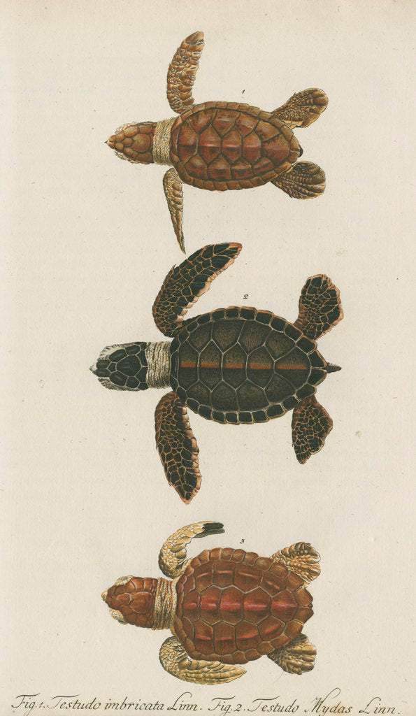 Detail of Three specimens of turtles by Friedrich Wilhelm Wunder
