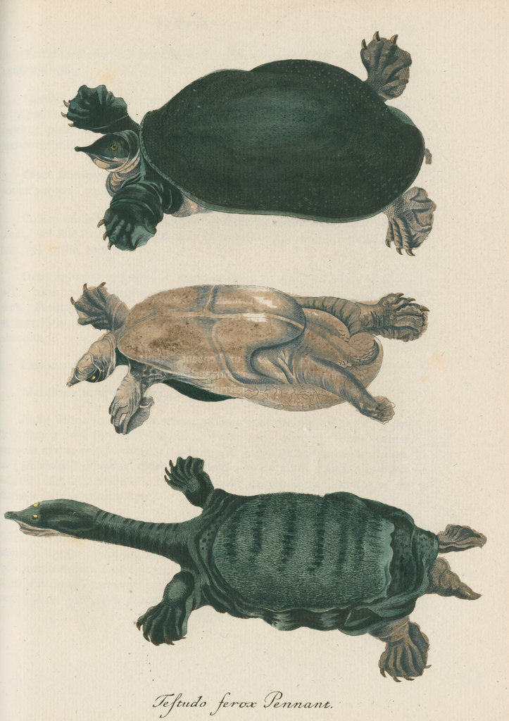 Detail of 'Testudo ferox' [Florida softshell turtle] by Friedrich Wilhelm Wunder
