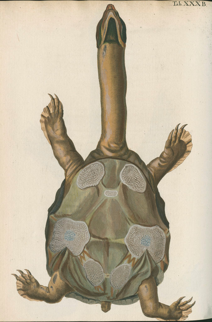Detail of 'Testudo granosa' [Indian flapshell turtle] by Johann Friedrich Volckart