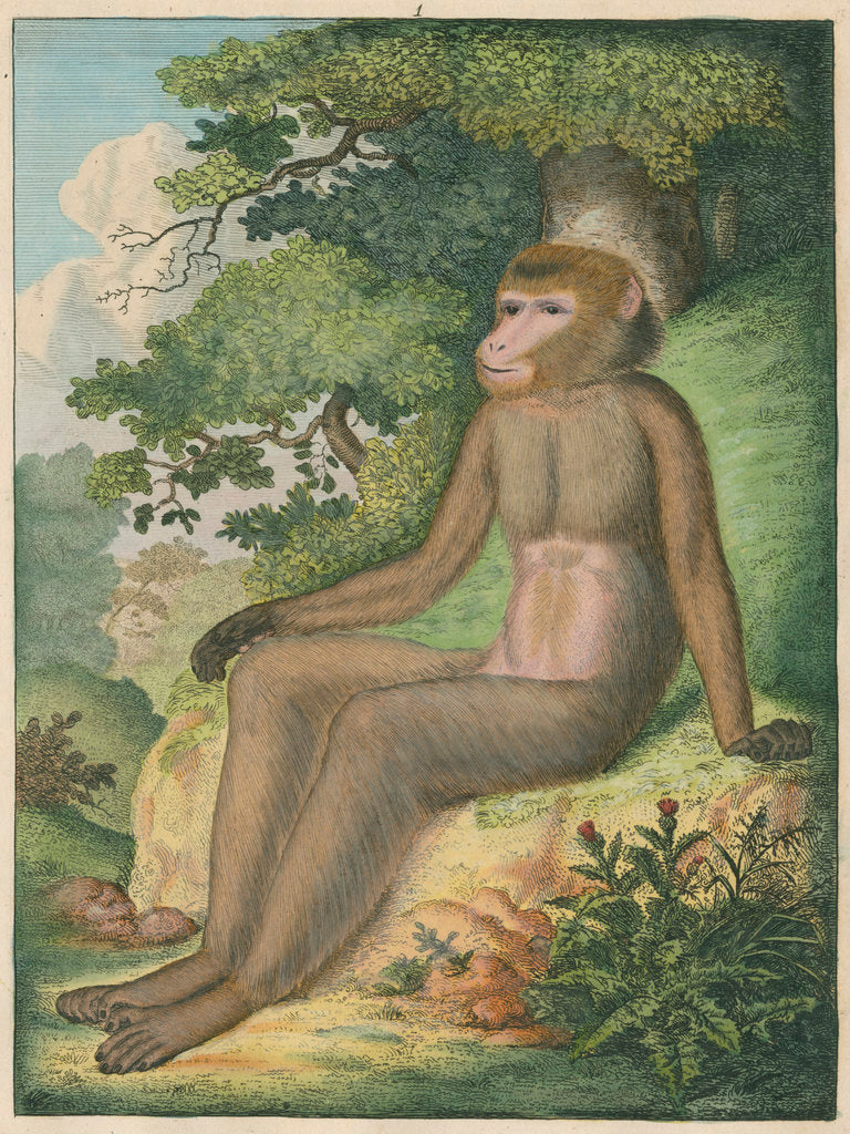 Detail of 'The Barbary Ape' [Barbary macaque] by James Sowerby