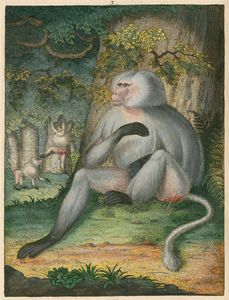 Detail of 'The Grey Baboon' [Barbary macaque] by James Sowerby
