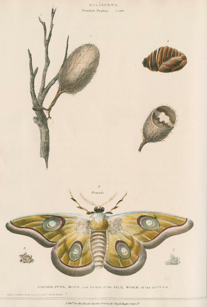 Detail of Life cycle of the Kolisurra moth by Day & Haghe