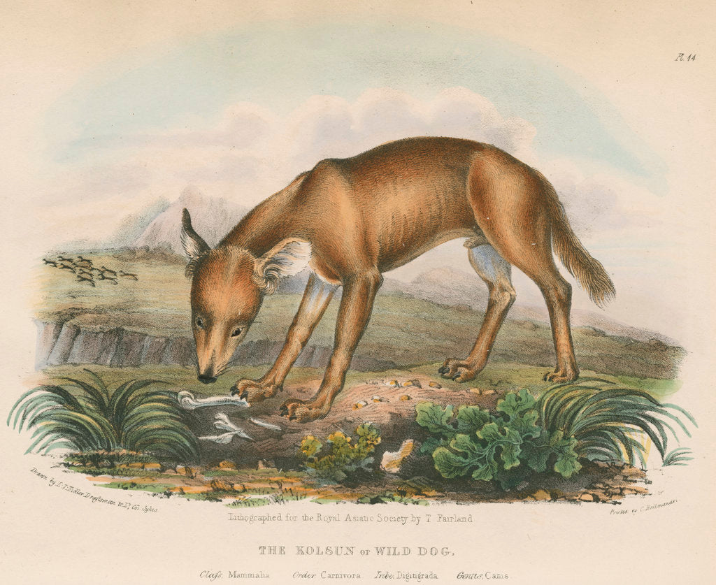 Detail of 'The Kolsun, or Wild Dog' [Dhole] by Thomas Fairland