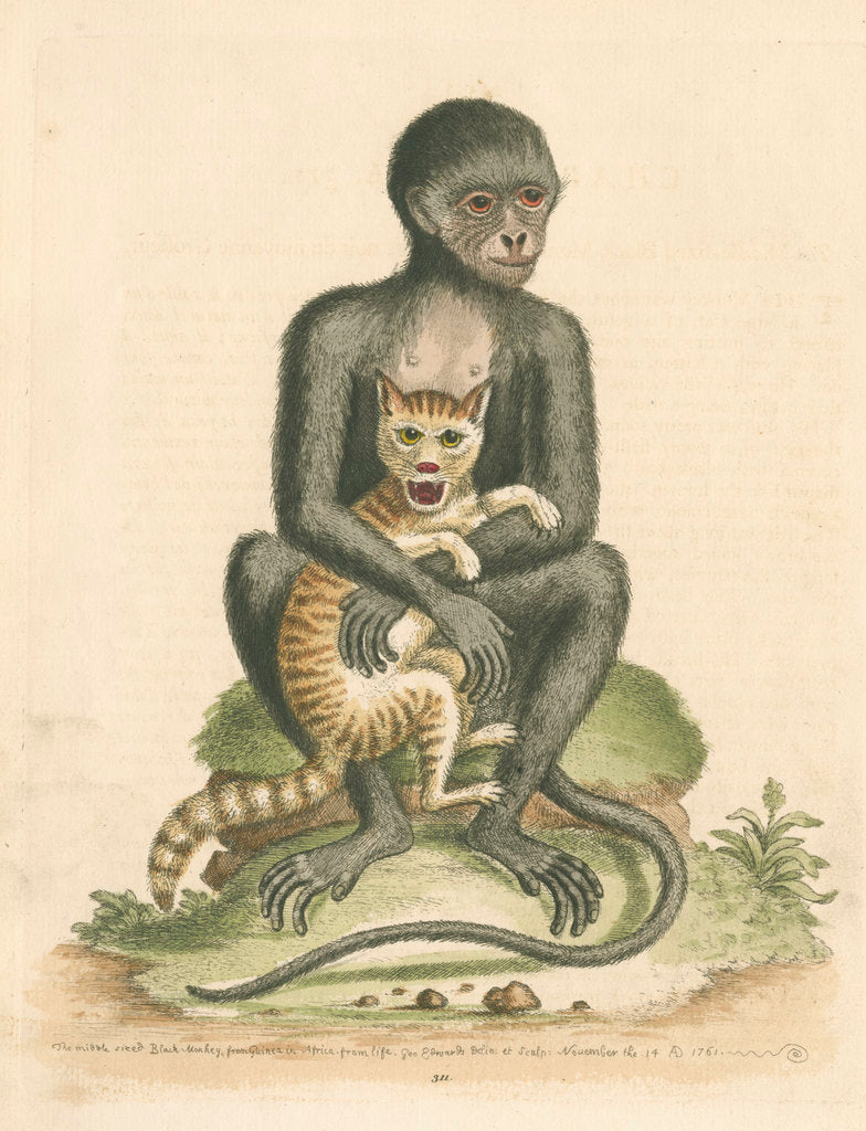Detail of 'The Middle-sized Black Monkey' by George Edwards
