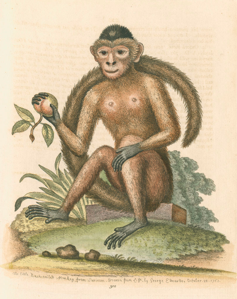 Detail of 'The Bush-tailed Monkey' by George Edwards