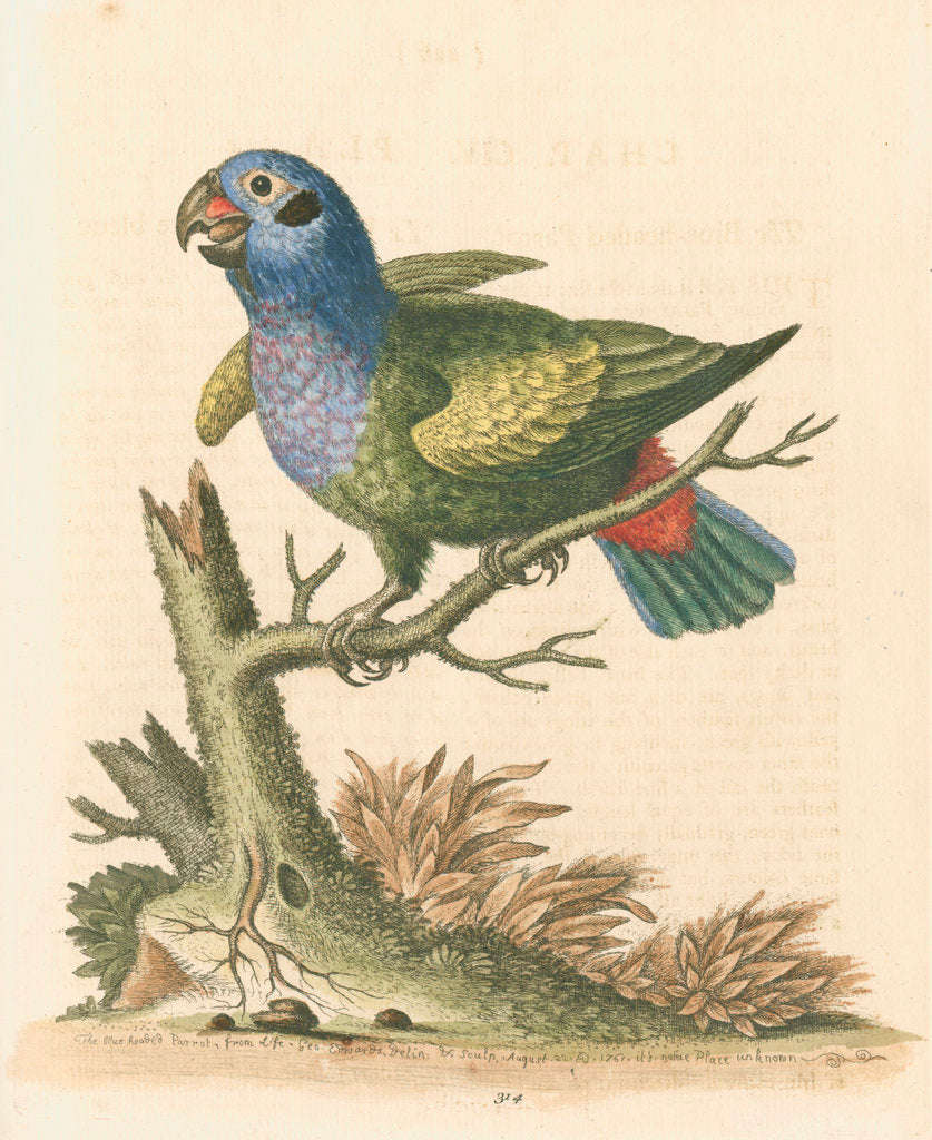 Detail of 'The Blue-headed Parrot' by George Edwards