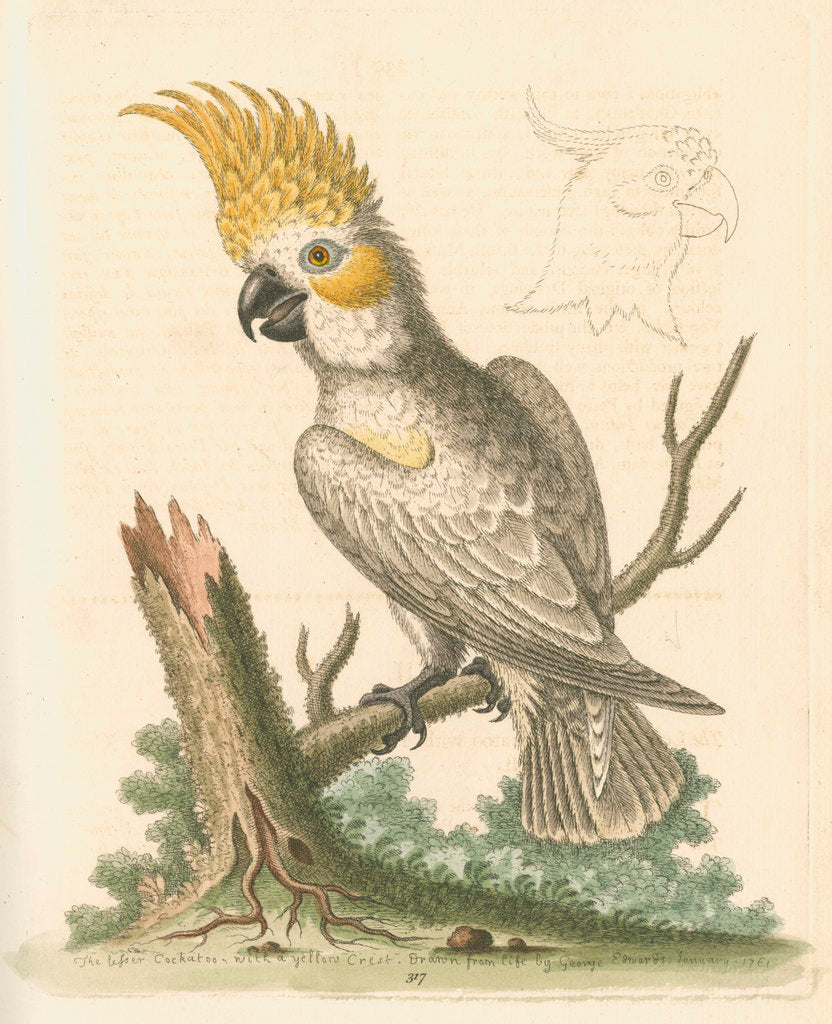 Detail of 'The Lesser White Cockatoo with a Yellow Crest' by George Edwards