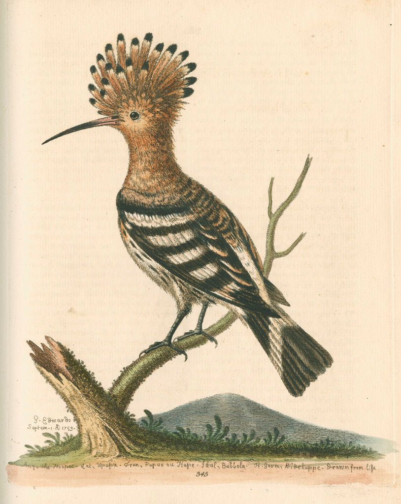 Detail of 'The Hoopoe' by George Edwards