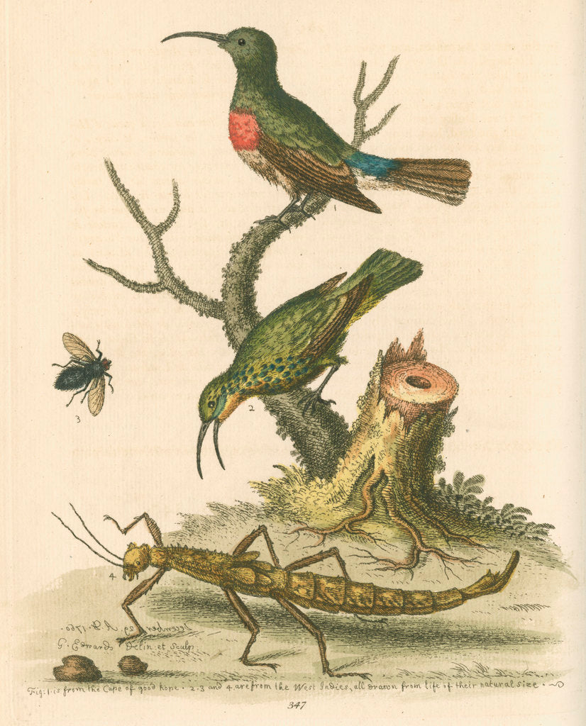 Detail of 'The Red-breasted Green Creeper, and the Spotted Green Creeper, &c.' by George Edwards