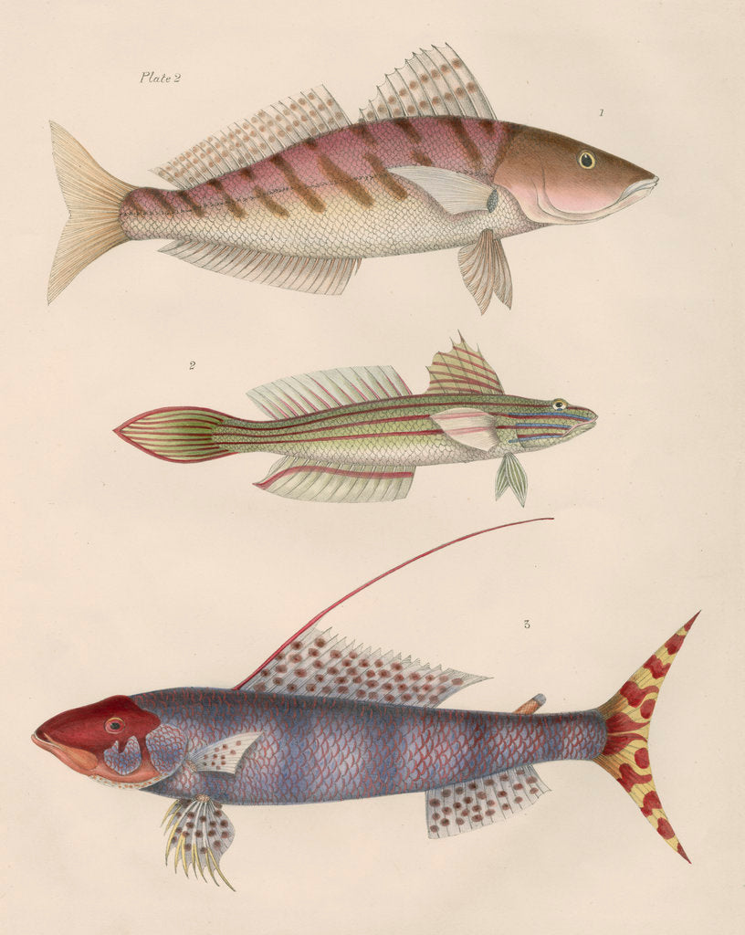 Detail of Studies of three fishes from Australia by Anonymous