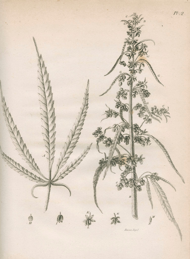 Detail of Male hemp plant by Richard Reeve