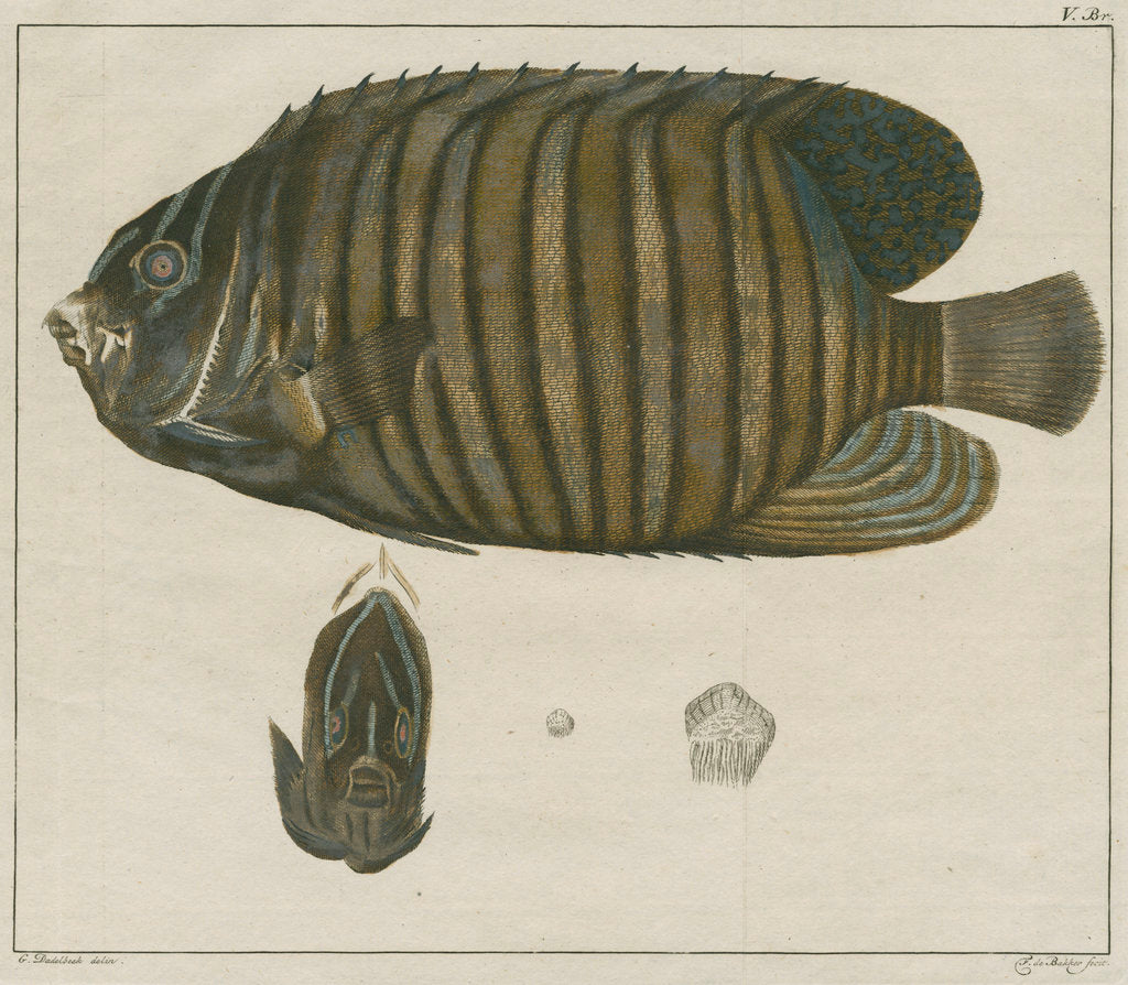 Detail of Royal angelfish by F de Bakker