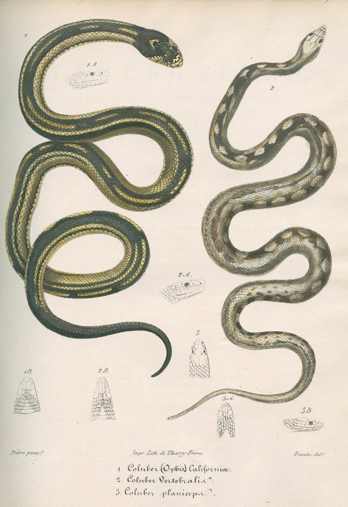 Detail of Two snakes of North America by Franke