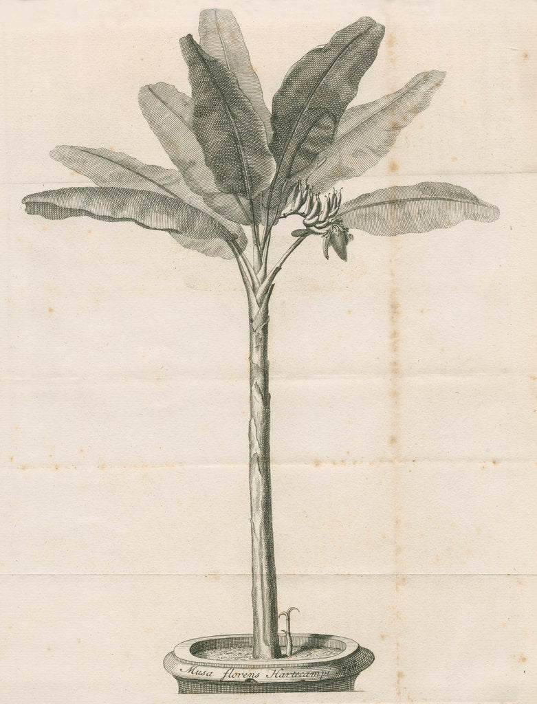 Detail of Clifford's banana plant by Anonymous