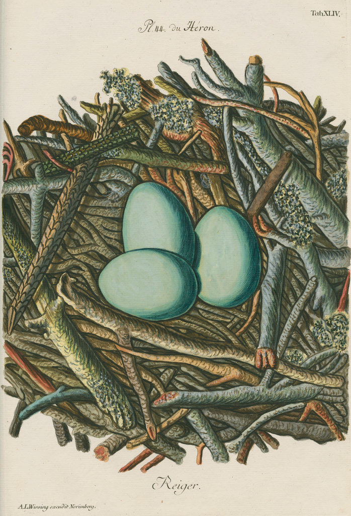 Detail of Nest of the Grey heron by Adam Ludwig Wirsing