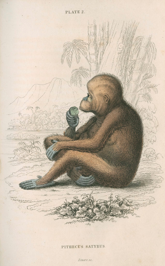 Detail of 'Pithecus satyrus' [Orangutan] by William Home Lizars