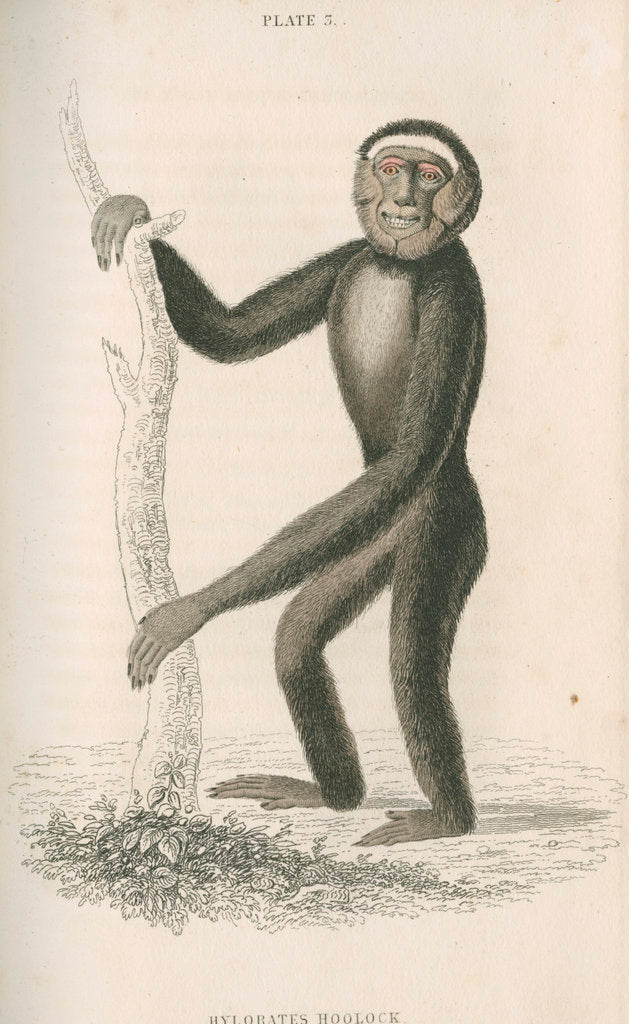 Detail of 'Hylobates hoolock' [Hoolock gibbon] by William Home Lizars