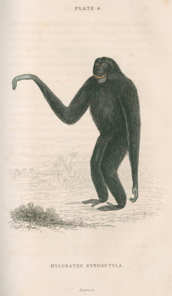 Detail of 'Hylobates syndactyla' [Siamang gibbon] by William Home Lizars