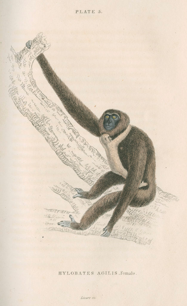 Detail of 'Hylobates agilis' [Agile gibbon] by William Home Lizars