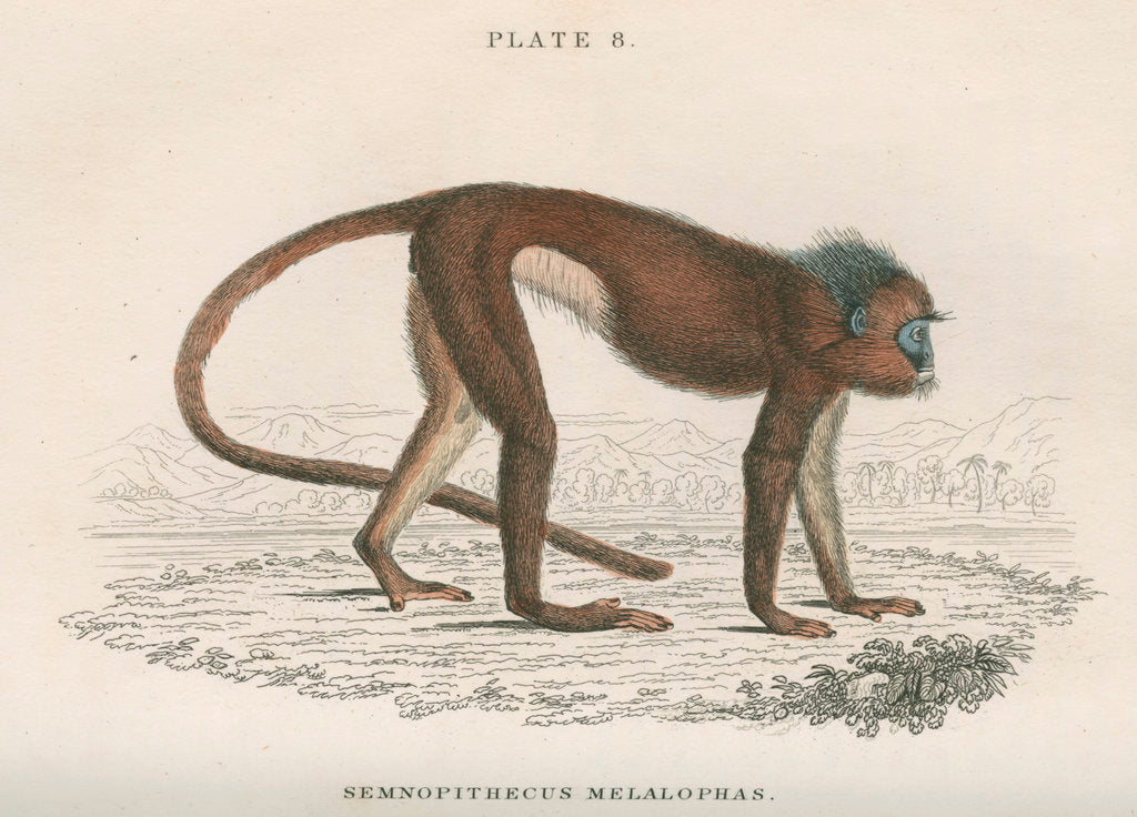 Detail of 'Semnopithecus melalophas' [Mitred leaf monkey] by William Home Lizars