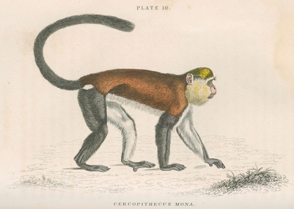 Detail of 'Cercopithecus mona' [Mona monkey] by William Home Lizars