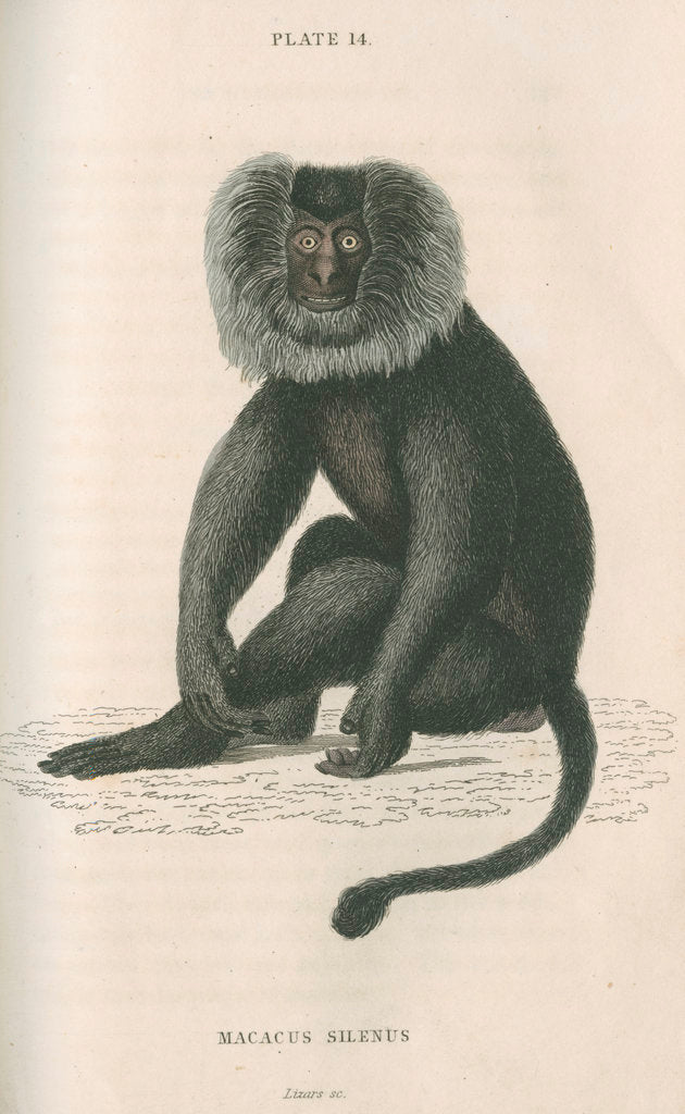 Detail of 'Macacus silensus' [Lion-tailed macaque] by William Home Lizars