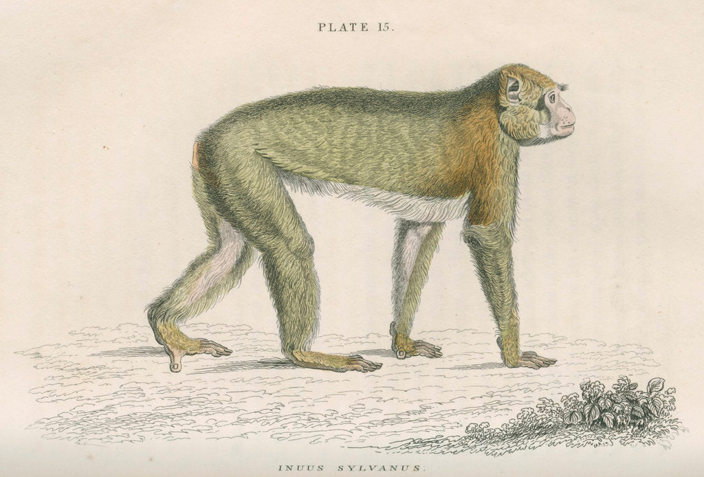 Detail of 'Inuus sylvanus' [Barbary macaque] by William Home Lizars