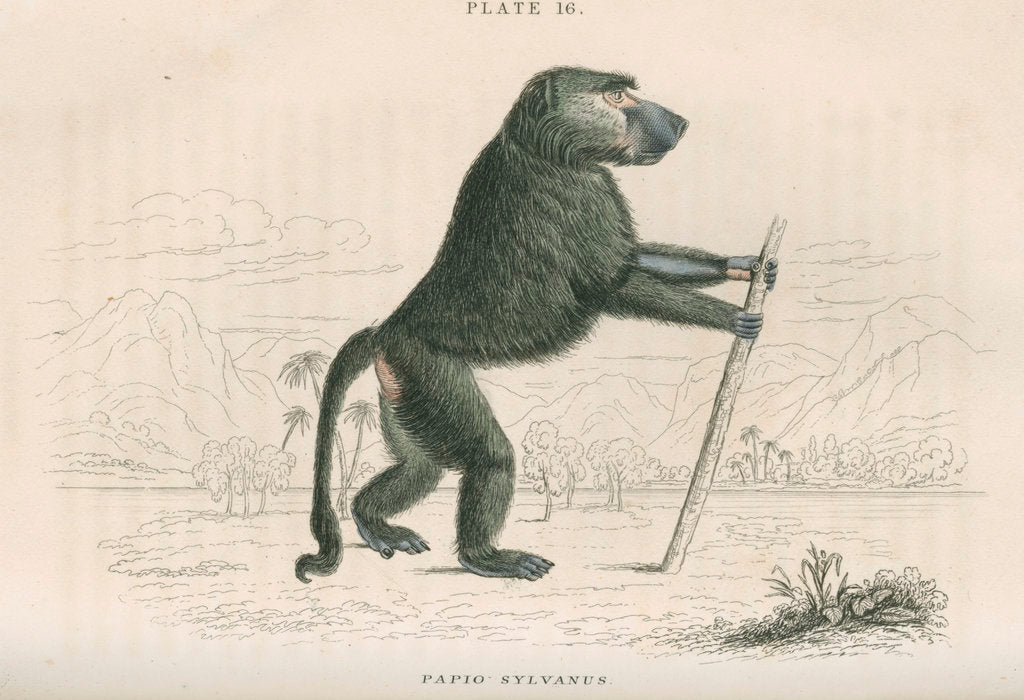 Detail of 'Papio sylvanus' [Chacma baboon] by William Home Lizars
